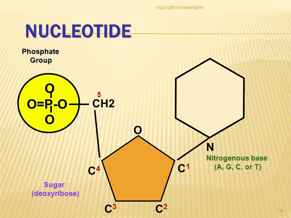 28 NUCLEOTIDE O O=P-O OPhosphate Group Group N Nitrogenous base (A, G, C, or T) (A, G, C, or T) CH2 O C1C1 C4C4 C3C3 C2C2 5 Sugar Sugar(deoxyribose) c