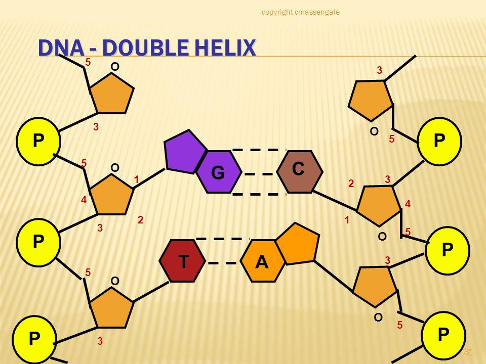 31 DNA - DOUBLE HELIX P P P O O O 1 2 3 4 5 5 3 3 5 P P P O O O 1 2 3 4 5 5 3 5 3 G C TA copyright cmassengale