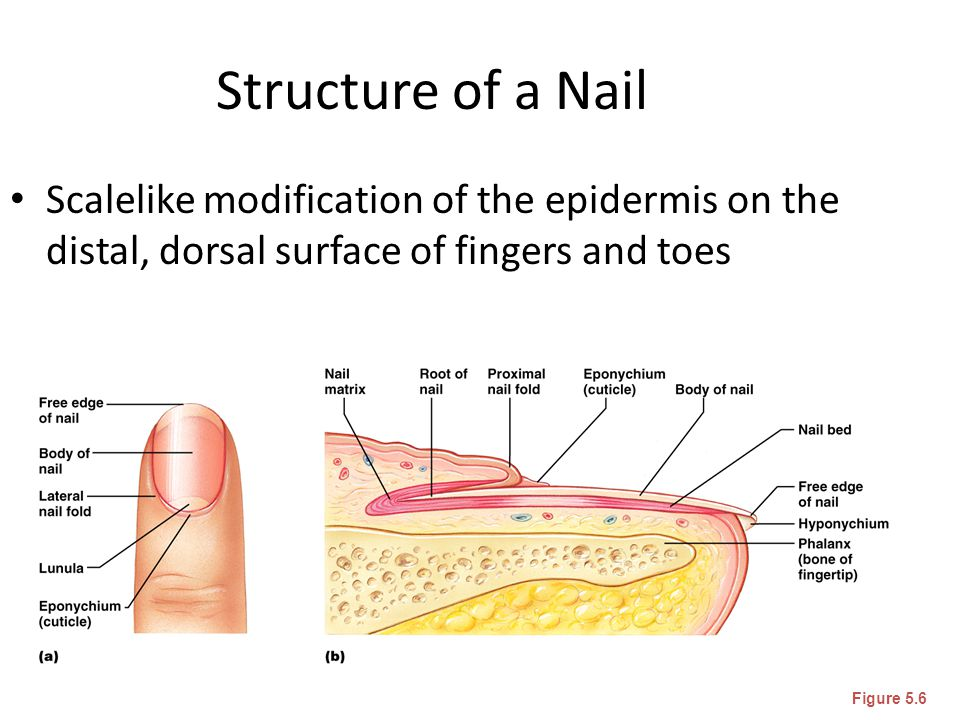 Structure of a Nail Scalelike modification of the epidermis on the distal, dorsal surface of fingers and toes Figure 5.6