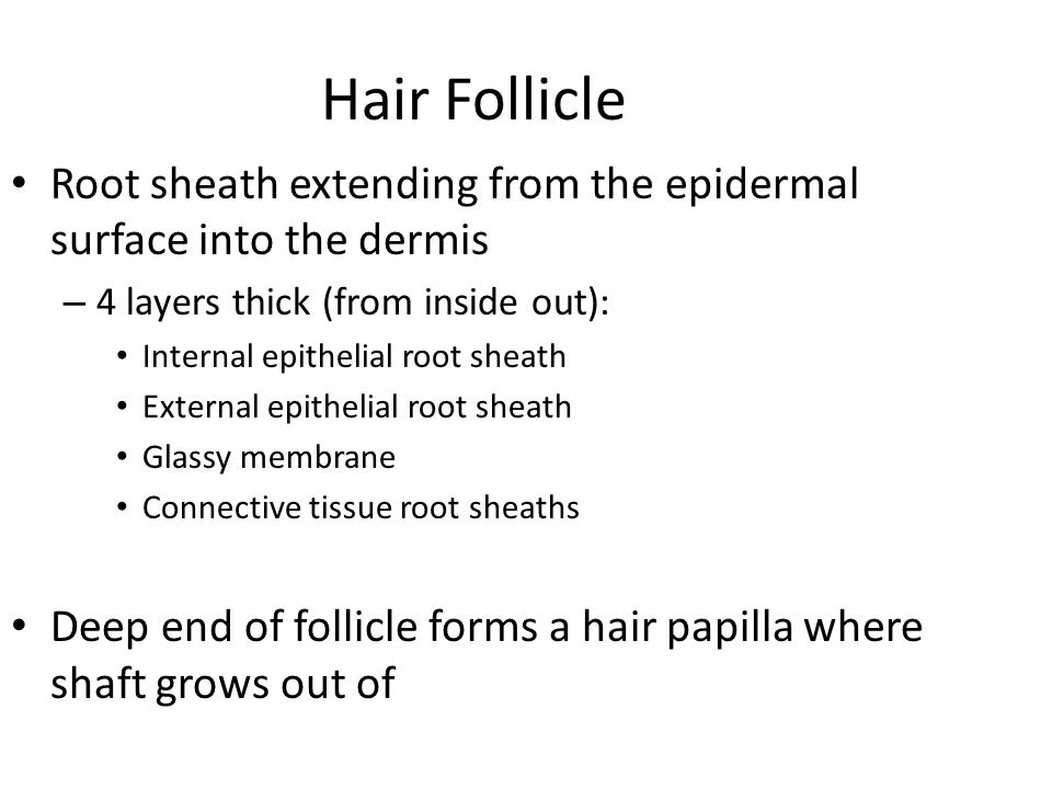 Hair Follicle Root sheath extending from the epidermal surface into the dermis – 4 layers thick (from inside out): Internal epithelial root sheath Ext