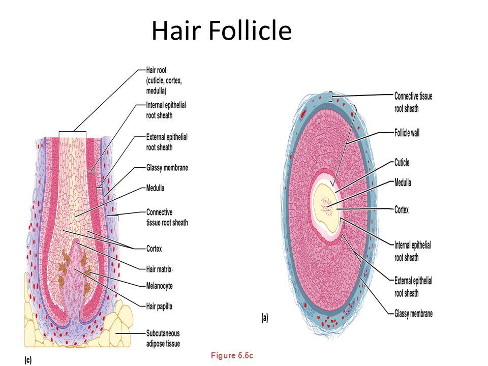 Hair Follicle Figure 5.5c