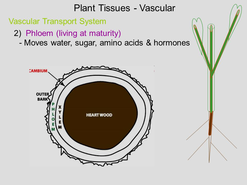 Vascular Transport System - Moves water, sugar, amino acids & hormones 2) Phloem (living at maturity) Plant Tissues - Vascular
