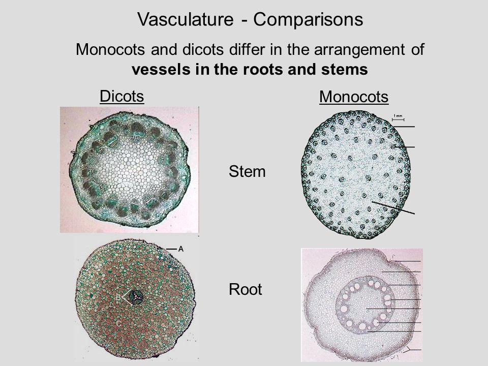 Monocotyledons vs. Dicotyledons | Ms. Hui\'s Teaching Blog