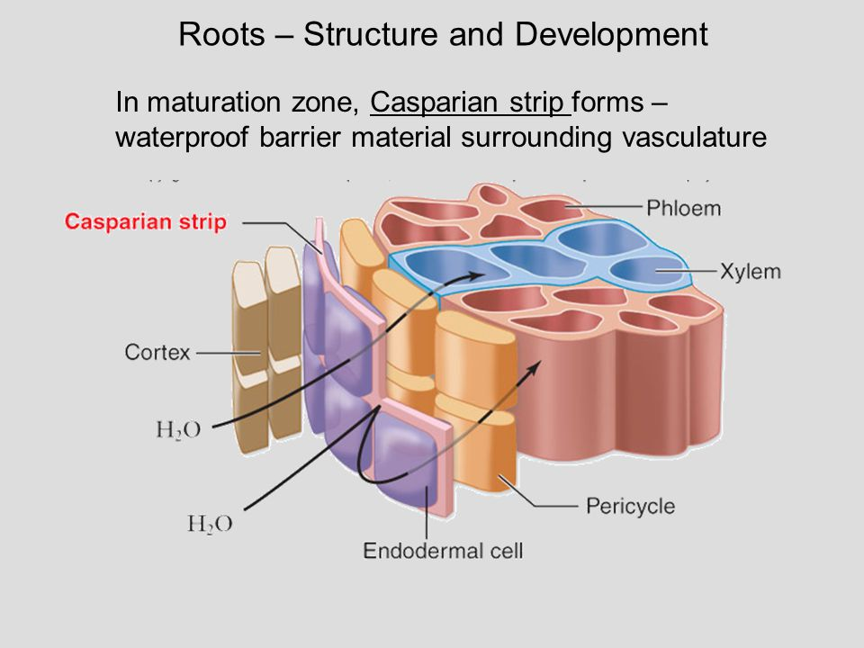Roots – Structure and Development In maturation zone, Casparian strip forms – waterproof barrier material surrounding vasculature