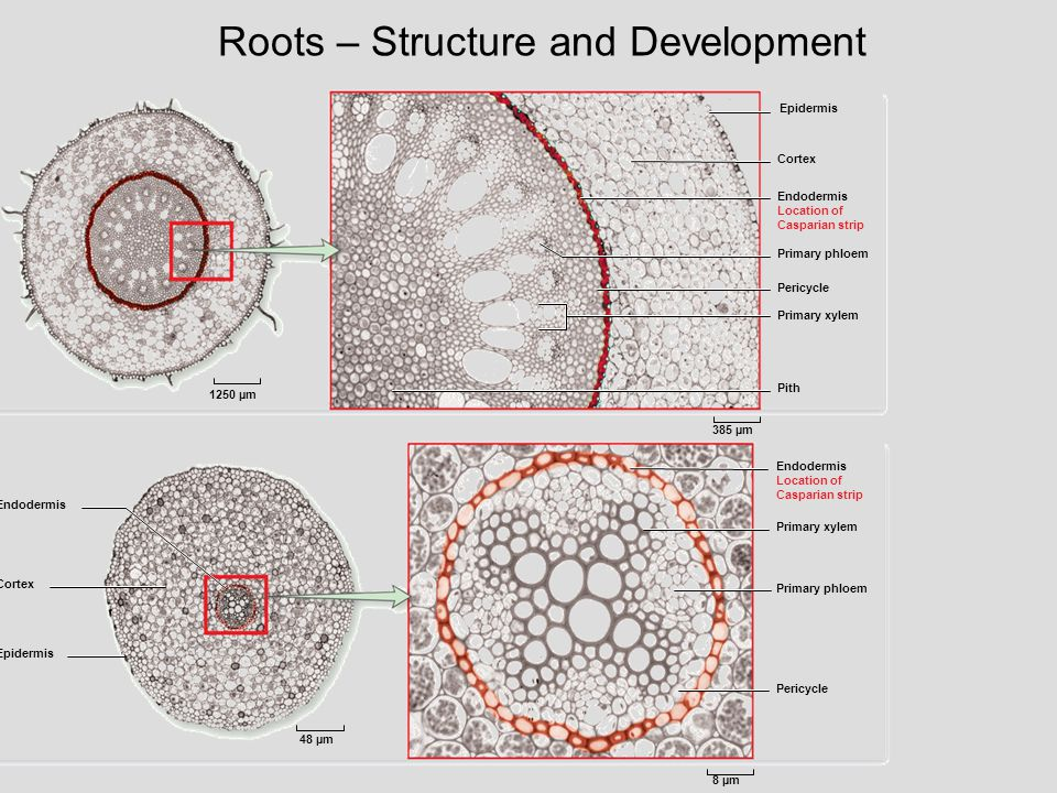 Roots – Structure and Development 1250 µm Epidermis Primary phloem Primary xylem Pith Monocot Eudicot Endodermis Cortex Epidermis Primary xylem Pericy