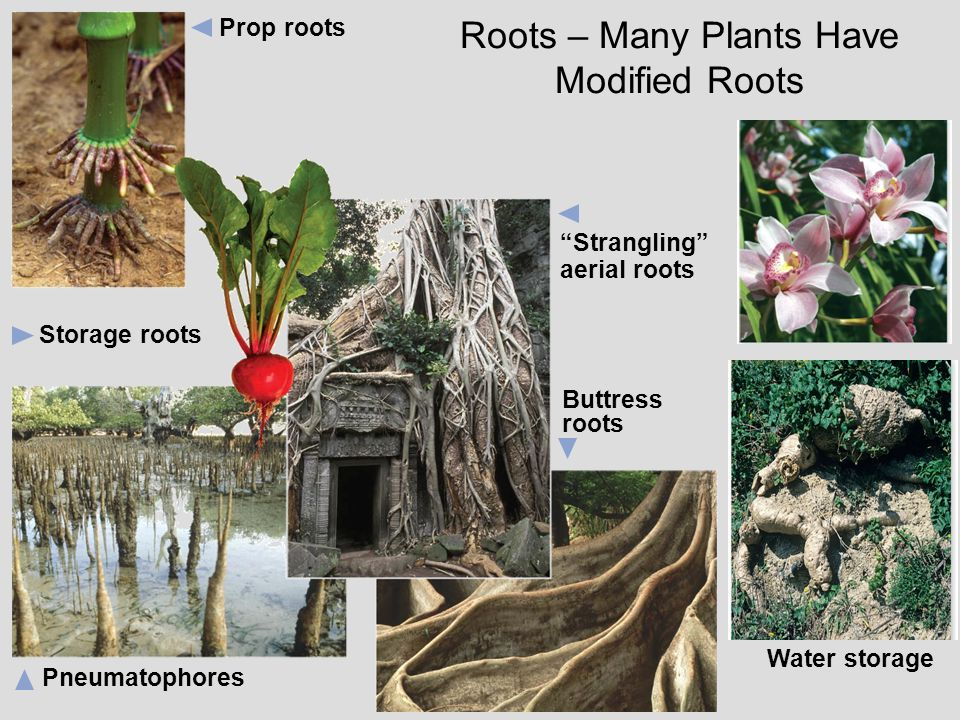 "Prop roots ""Strangling"" aerial roots Storage roots Buttress roots Pneumatophores Roots – Many Plants Have Modified Roots Water storage"