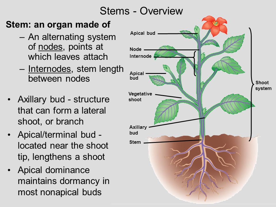Stem: an organ made of –An alternating system of nodes, points at which leaves attach –Internodes, stem length between nodes Stems - Overview Axillary