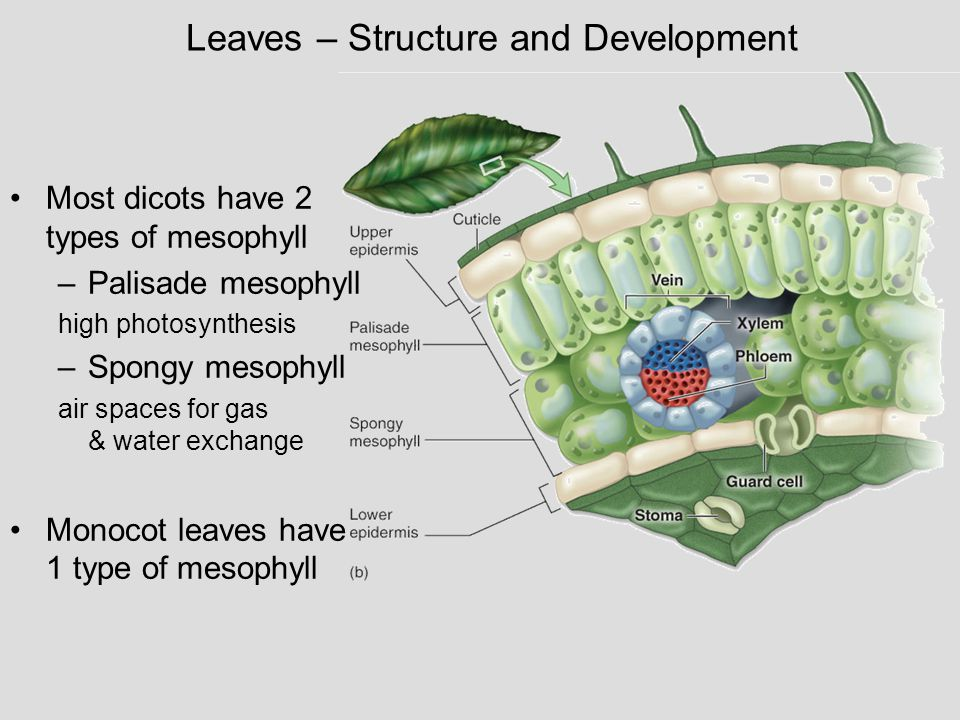 Leaves – Structure and Development Most dicots have 2 types of mesophyll –Palisade mesophyll high photosynthesis –Spongy mesophyll air spaces for gas