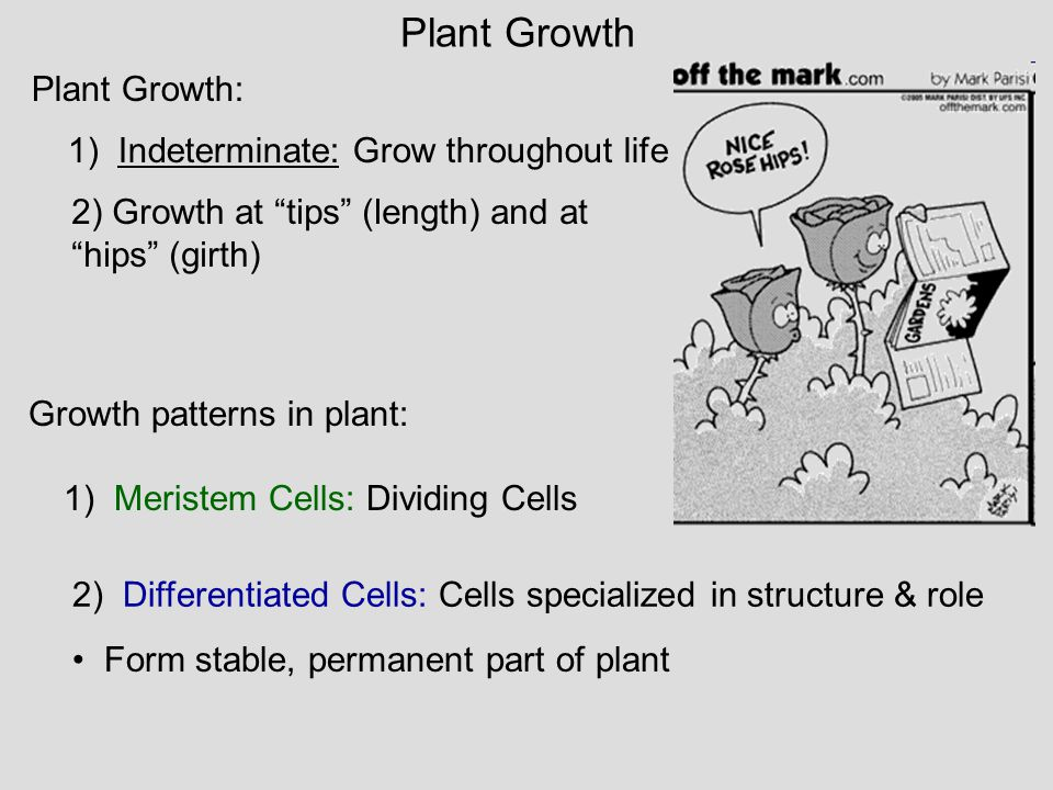 "Plant Growth: 1) Indeterminate: Grow throughout life 2) Growth at ""tips"" (length) and at ""hips"" (girth) Growth patterns in plant: 1) Meristem Cells: D"