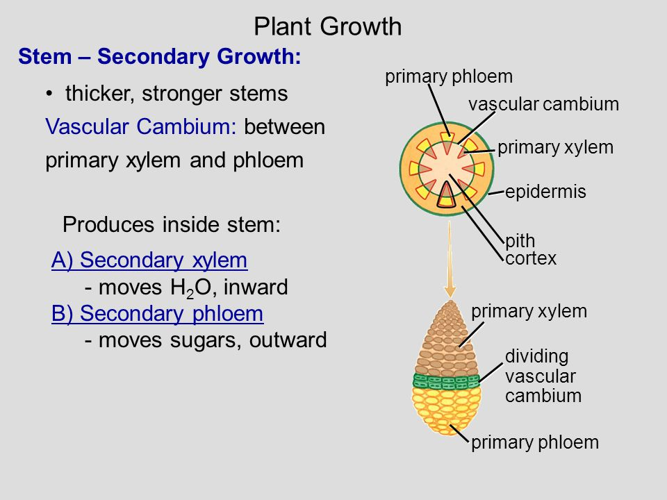 Stem – Secondary Growth: thicker, stronger stems Vascular Cambium: between primary xylem and phloem primary phloem vascular cambium primary xylem epid