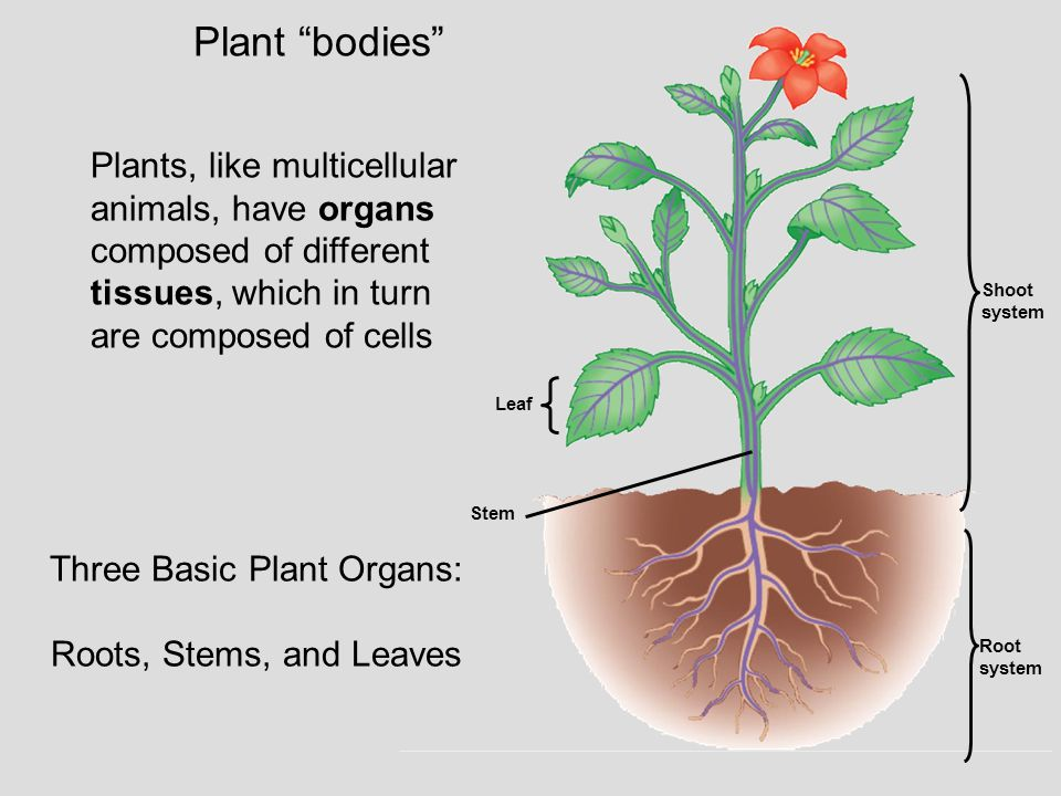 "Plant ""bodies"" Three Basic Plant Organs: Roots, Stems, and Leaves Plants, like multicellular animals, have organs composed of different tissues, which"