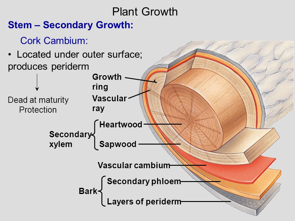 Stem – Secondary Growth: Dead at maturity Protection Cork Cambium: Located under outer surface; produces periderm Plant Growth Growth ring Vascular ra