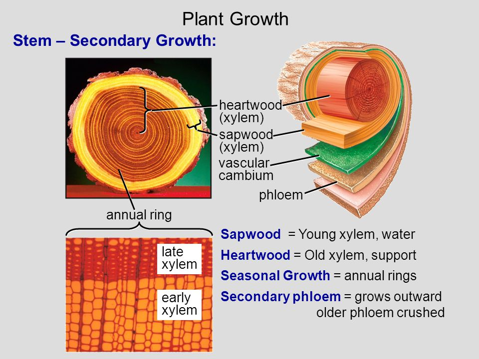 annual ring early xylem late xylem heartwood (xylem) sapwood (xylem) vascular cambium phloem Stem – Secondary Growth: Sapwood = Young xylem, water Hea