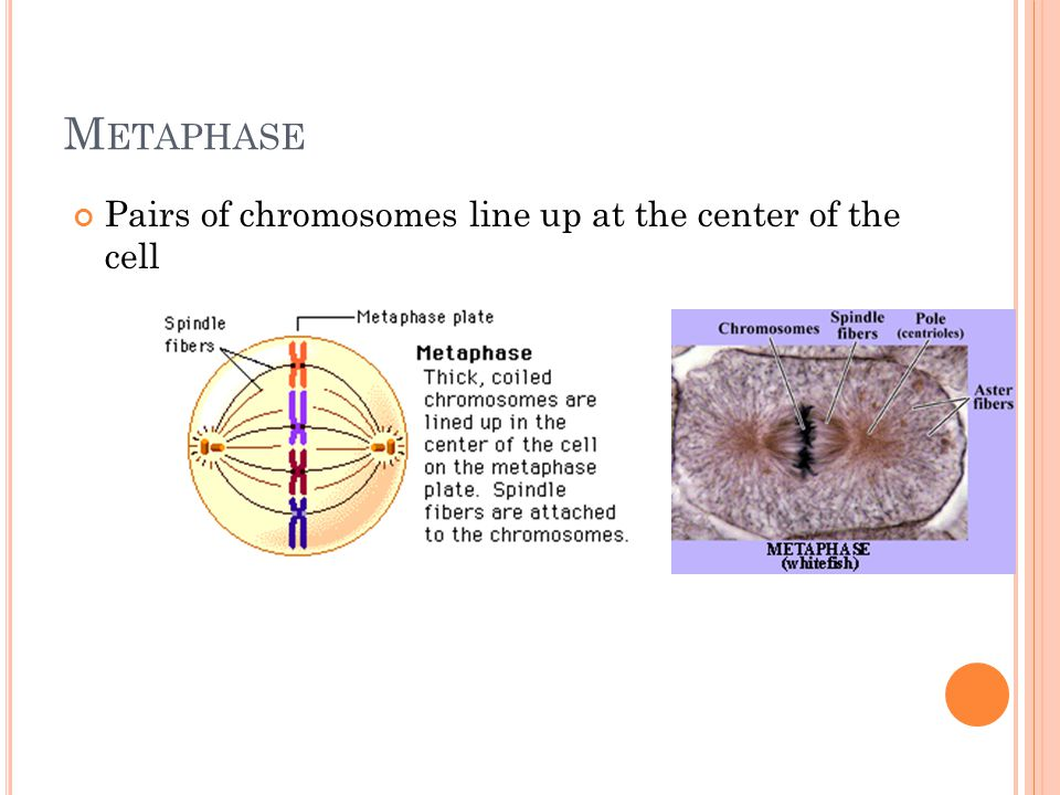 M ETAPHASE Pairs of chromosomes line up at the center of the cell