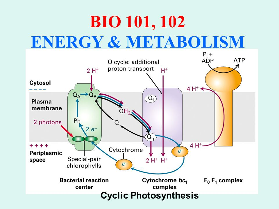 BIO 101, 102 ENERGY & METABOLISM LIGHT INDEPENDENT REACTION Utilizes the materials from the light dependent reactions, i.e.