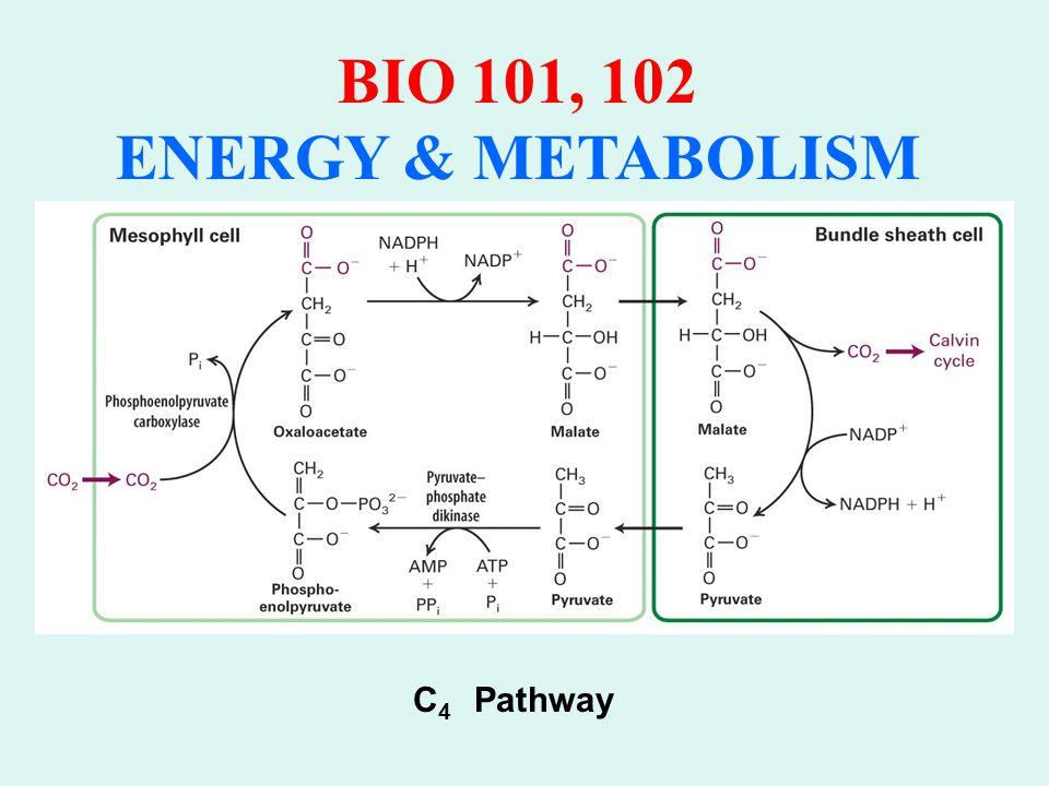 BIO 101, 102 ENERGY & METABOLISM C 3 Leaf C 4 Leaf Chloroplast