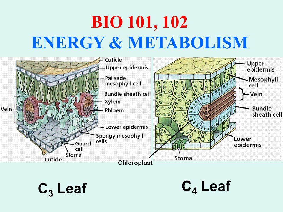 BIO 101, 102 ENERGY & METABOLISM Anatomy of the Vascular Sheath In C 4 Leaves