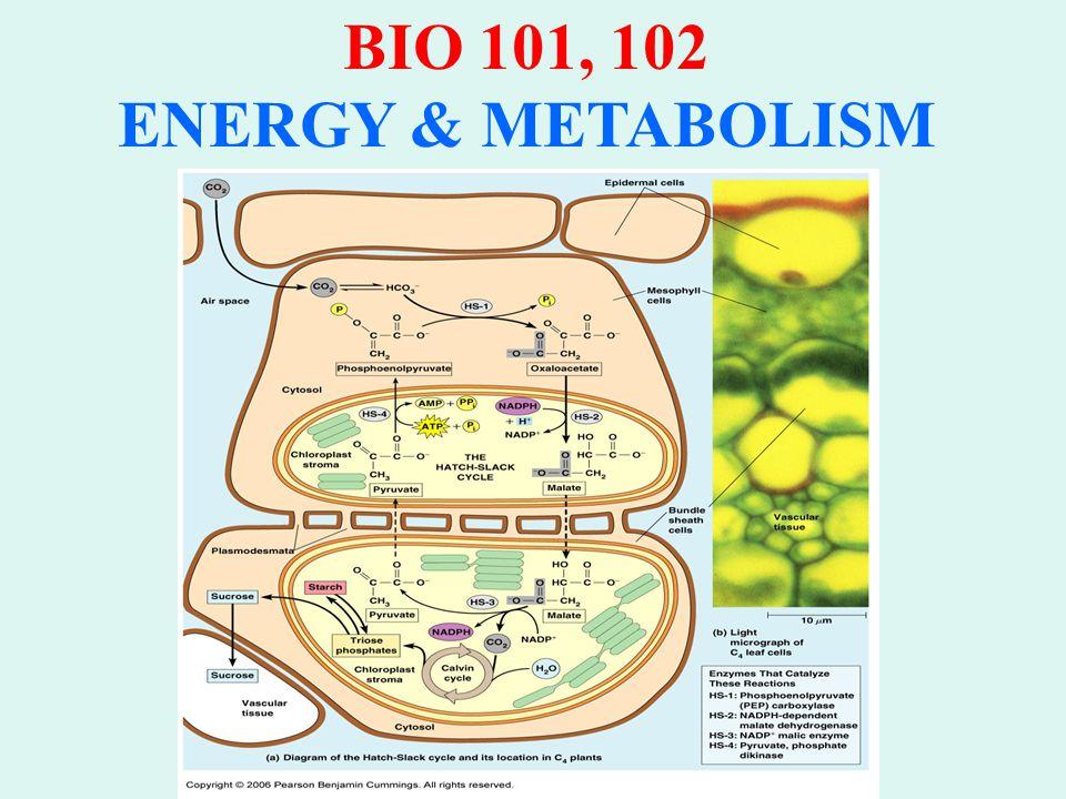 BIO 101, 102 ENERGY & METABOLISM FACTORS AFFECTING PHOTOSYNTHESIS 1.Water Shortage 2.Temperature 3.Light Intensity