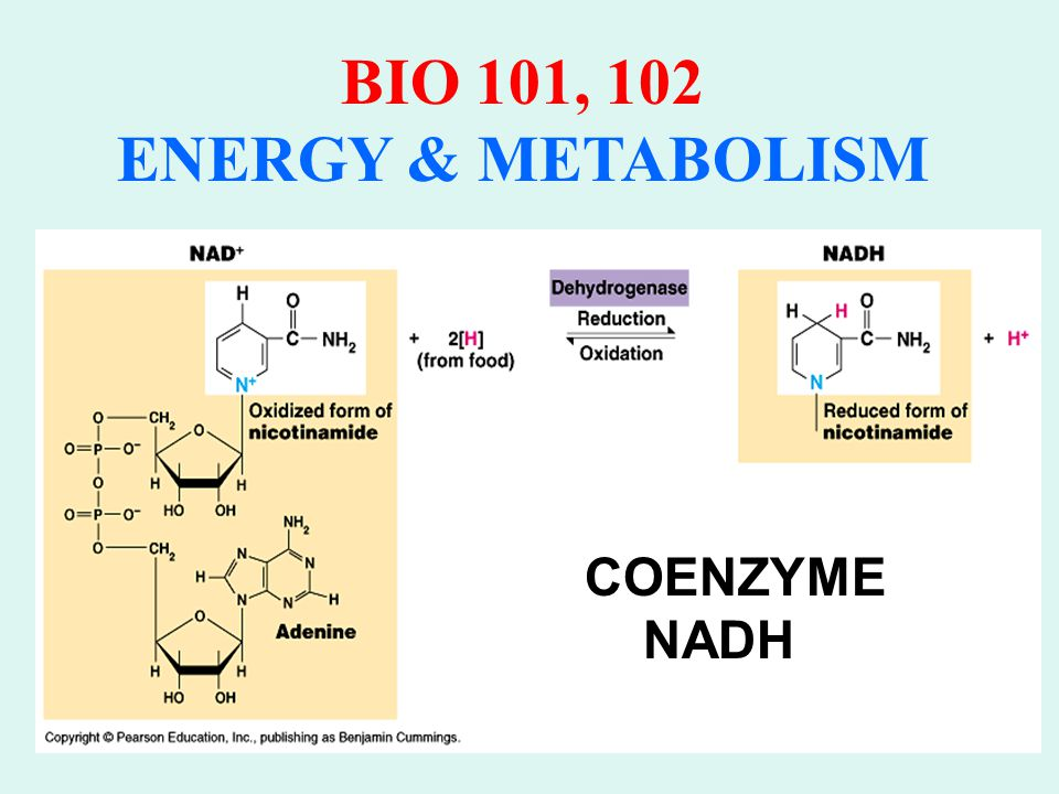 BIO 101, 102 ENERGY & METABOLISM ADENOSINE TRIPHOSPHATE (ATP) Nucleotide consisting of: Ribose Adenine (N-containing base) Three PO 4 groups Transient Existence (Use it or lose it)