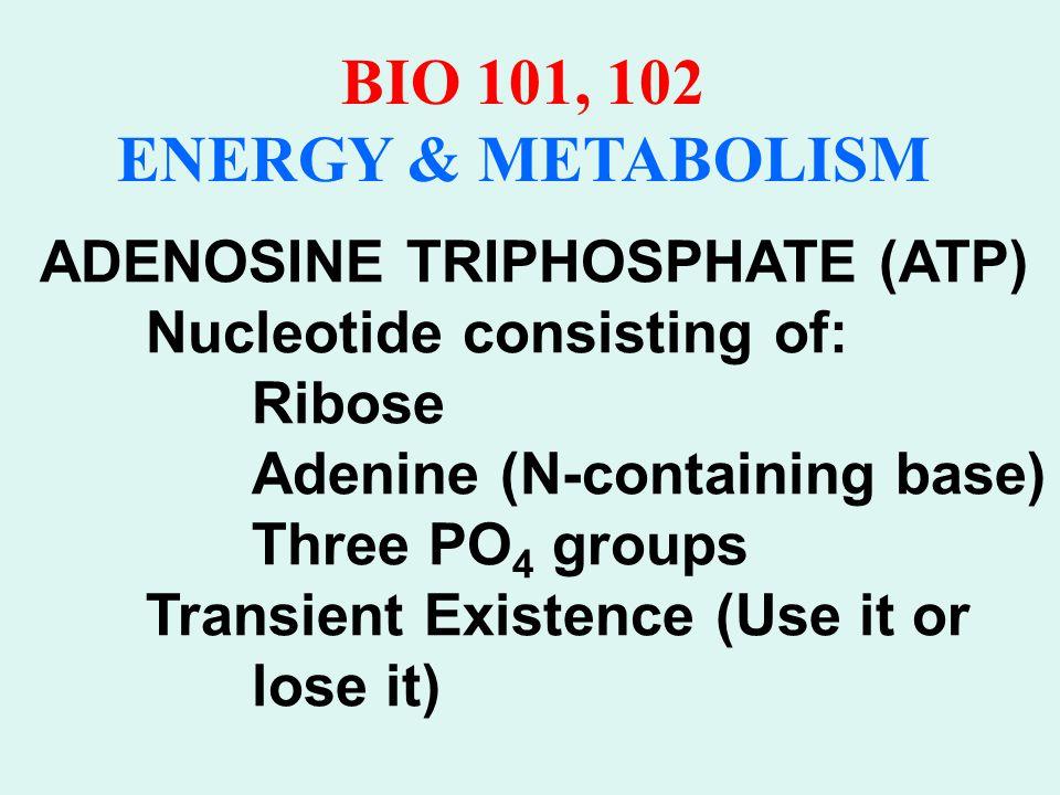 BIO 101, 102 ENERGY & METABOLISM Phosphate groups Adenine Ribose