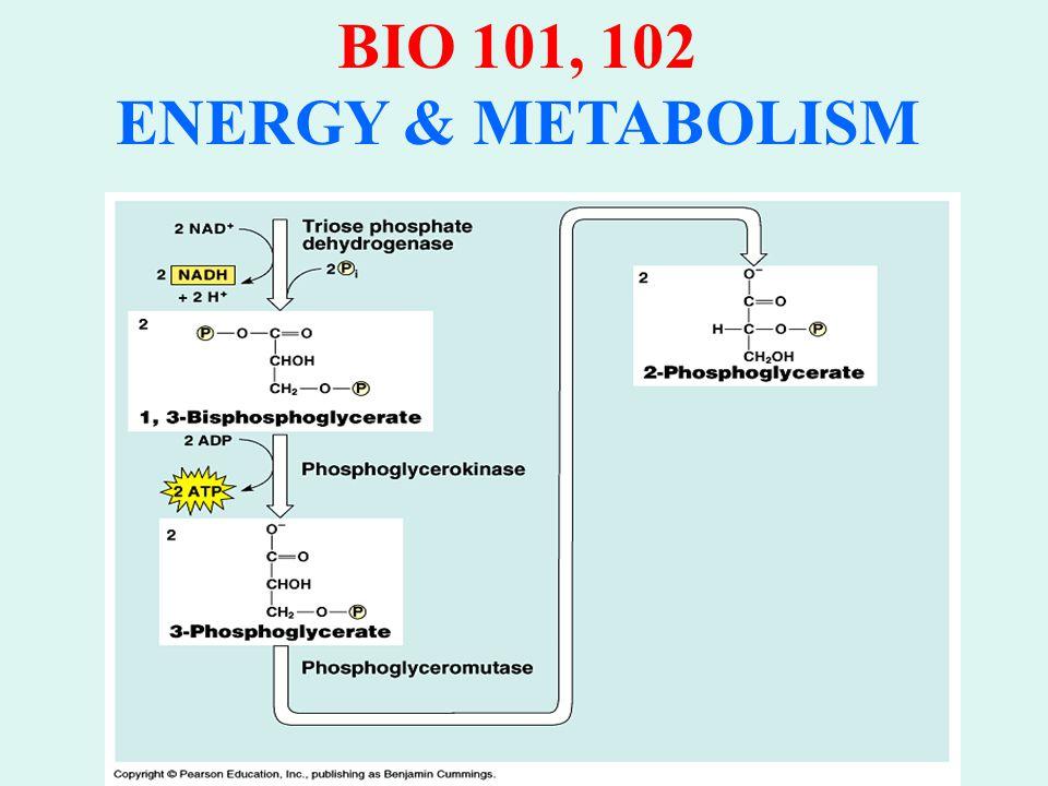 BIO 101, 102 ENERGY & METABOLISM GLYCOLYSIS: 3.