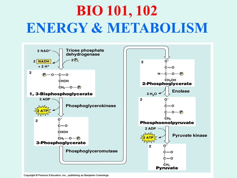 BIO 101, 102 ENERGY & METABOLISM GLYCOLYSIS RESULTS IN: Glucose → 2 molecules Pyruvate 2 molecules ADP → ATP for each molecule of pyruvate 2 molecules NAD + → NADH from oxidation of glyceraldehyde-3-PO 4