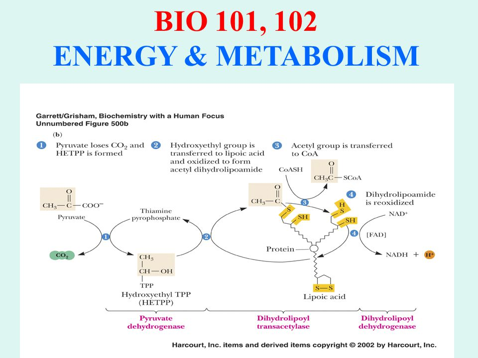 BIO 101, 102 ENERGY & METABOLISM FERMENTATION REACTIONS: 1.Lactic Acid Fermentation: Pyruvate REDUCED to Lactate No CO 2 removal NADH → NAD + 2.