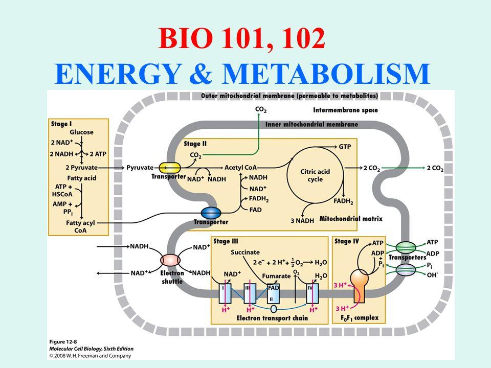 BIO 101, 102 ENERGY & METABOLISM THE MALATE SHUTTLE