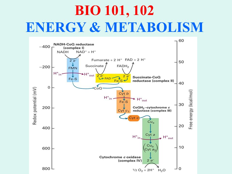 BIO 101, 102 ENERGY & METABOLISM Malate-Aspartate Shuttle