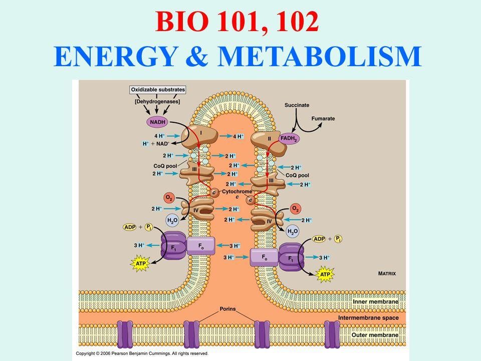 BIO 101, 102 ENERGY & METABOLISM ENERGY (ATP) YIELD per GLUCOSE Glycolysis: 2ATP by substrate level phosphorylation Oxidation Pyruvate: 2 NADH (3 ATP per) Krebs Cycle: 6 NADH (3 ATP per) 2 FADH 2 (1-2 ATP per) 2 ATP via GTP Electron Transport: 32 ATP oxidative phosphorylation