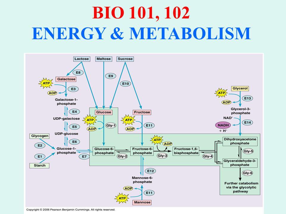 BIO 101, 102 ENERGY & METABOLISM Oxidation of Fatty Acids in Mitochomdria & Peroxisomes