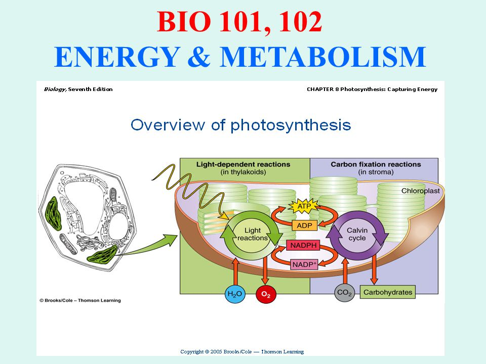BIO 101, 102 ENERGY & METABOLISM PHOTOSYNTHESIS: A process whereby radiant electromagnetic energy (light) is transformed by a specific photo- chemical system located in the thylakoid to yield chemical energy in the form of reducing potential (NADPH) and ATP.