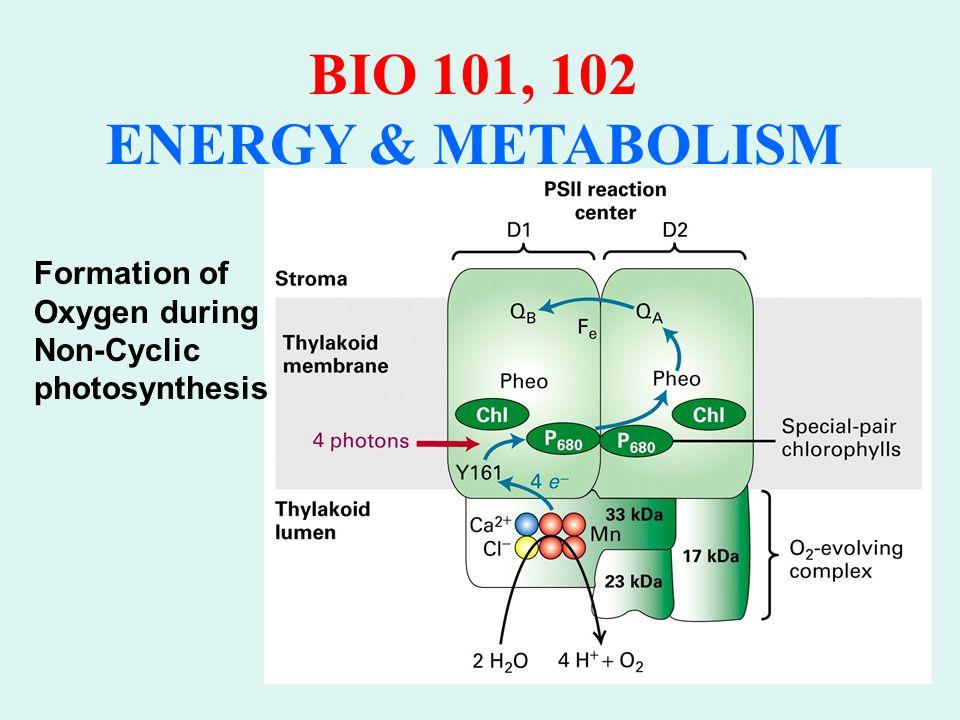 BIO 101, 102 ENERGY & METABOLISM Cyclic Electron Transport