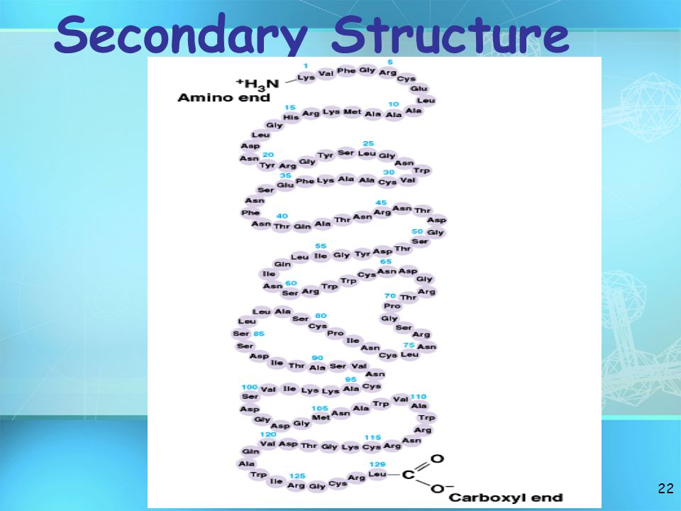 21 Primary Structure peptide bonds that form straight chains of Polymers(=polypeptide). Very large polypeptide = protein. Metabolic proteins are Enzym