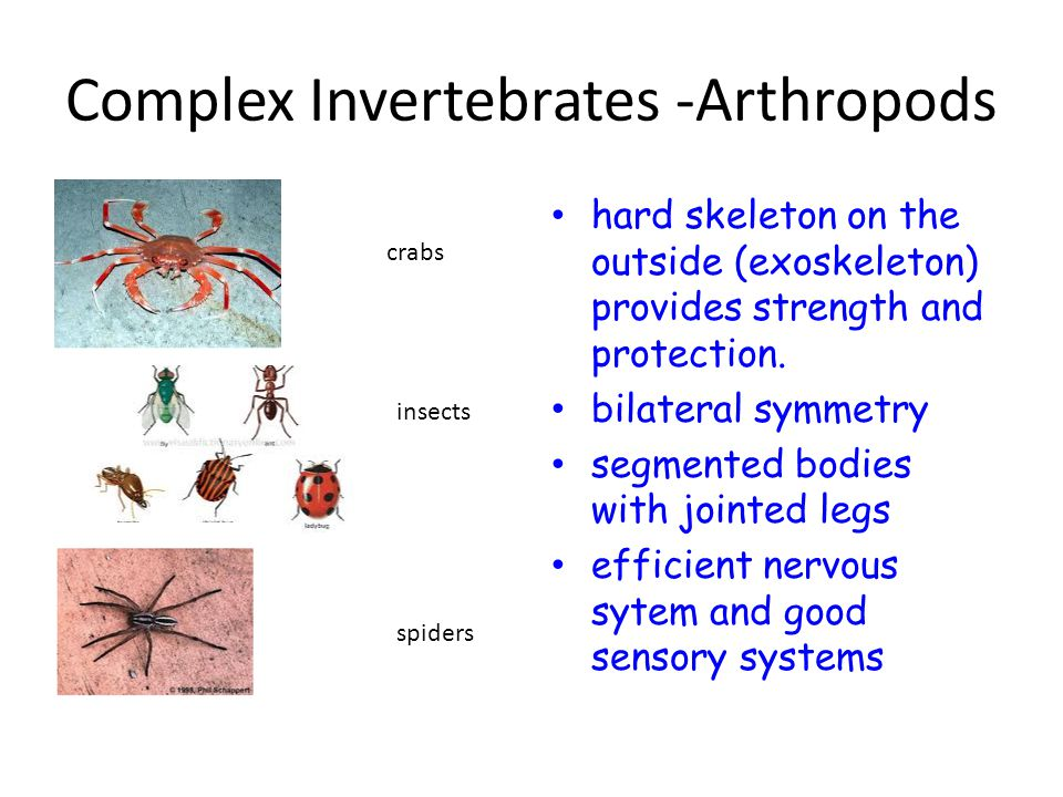 Complex Invertebrates -Arthropods crabs hard skeleton on the outside (exoskeleton) provides strength and protection.