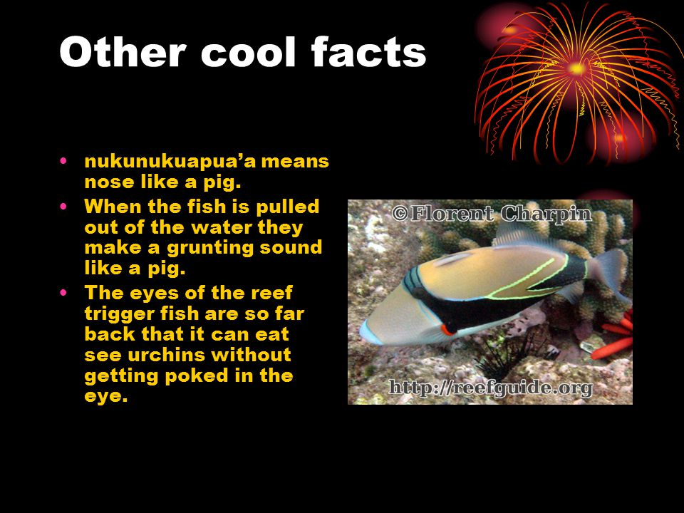 Other cool facts nukunukuapua'a means nose like a pig.