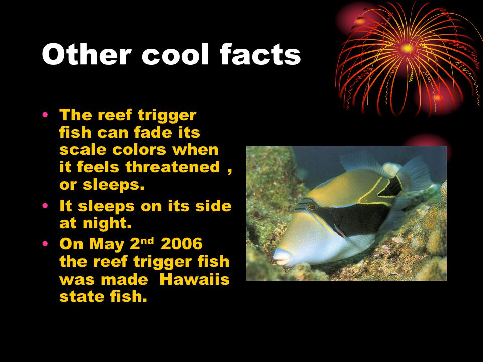 Other cool facts The reef trigger fish can fade its scale colors when it feels threatened, or sleeps.
