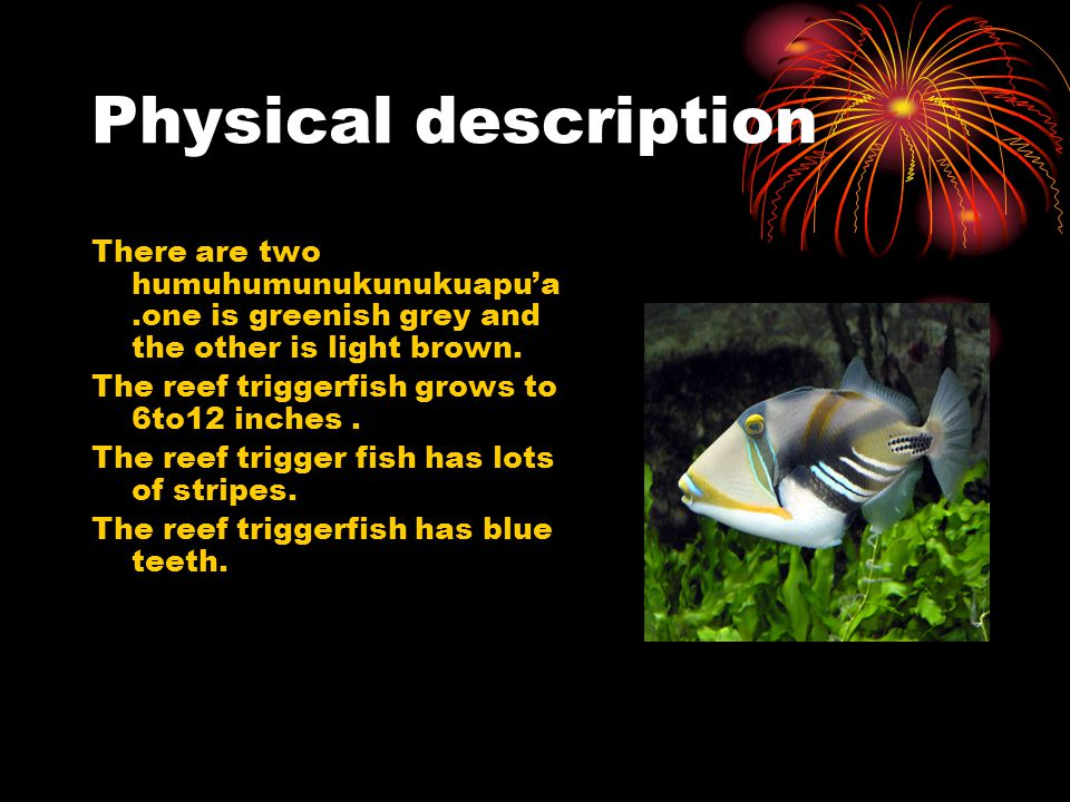 Physical description The reef trigger fish has a small second spine that locks the first spine, acting like a trigger.