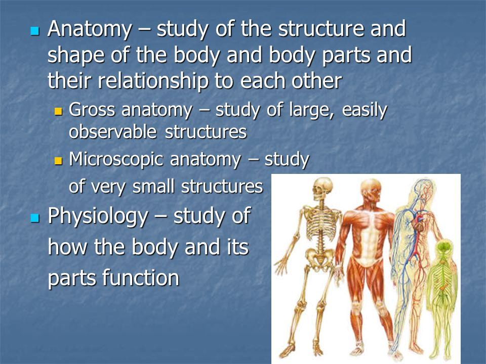 Anatomy – study of the structure and shape of the body and body parts and their relationship to each other Anatomy – study of the structure and shape of the body and body parts and their relationship to each other Gross anatomy – study of large, easily observable structures Gross anatomy – study of large, easily observable structures Microscopic anatomy – study Microscopic anatomy – study of very small structures Physiology – study of Physiology – study of how the body and its parts function