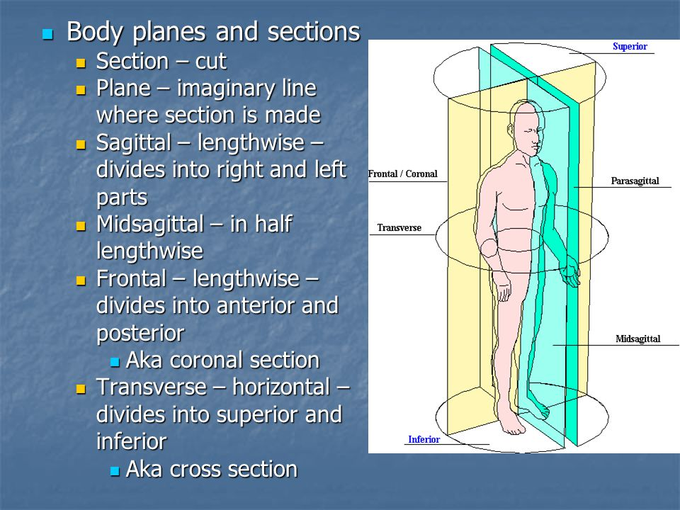 Body planes and sections Body planes and sections Section – cut Section – cut Plane – imaginary line Plane – imaginary line where section is made Sagittal – lengthwise – Sagittal – lengthwise – divides into right and left parts Midsagittal – in half Midsagittal – in halflengthwise Frontal – lengthwise – Frontal – lengthwise – divides into anterior and posterior Aka coronal section Aka coronal section Transverse – horizontal – Transverse – horizontal – divides into superior and inferior Aka cross section Aka cross section