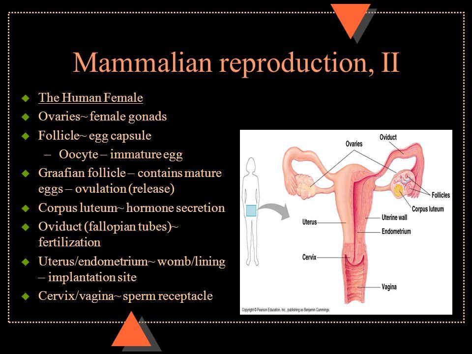 Mammalian reproduction, II u The Human Female u Ovaries~ female gonads u Follicle~ egg capsule –Oocyte – immature egg u Graafian follicle – contains m