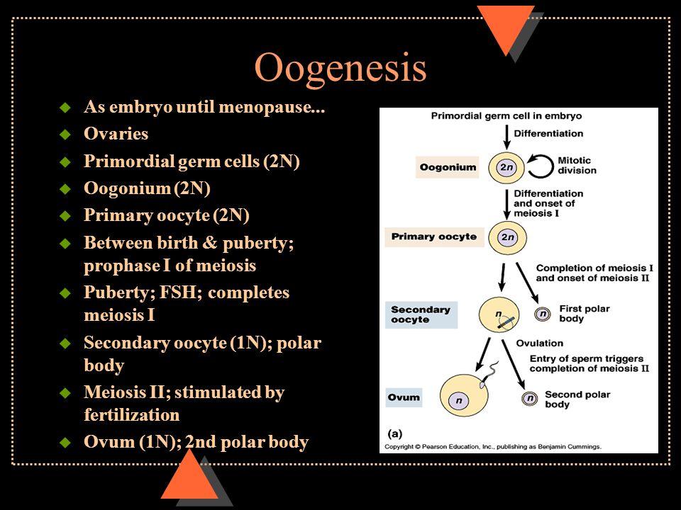 Oogenesis u As embryo until menopause... u Ovaries u Primordial germ cells (2N) u Oogonium (2N) u Primary oocyte (2N) u Between birth & puberty; proph