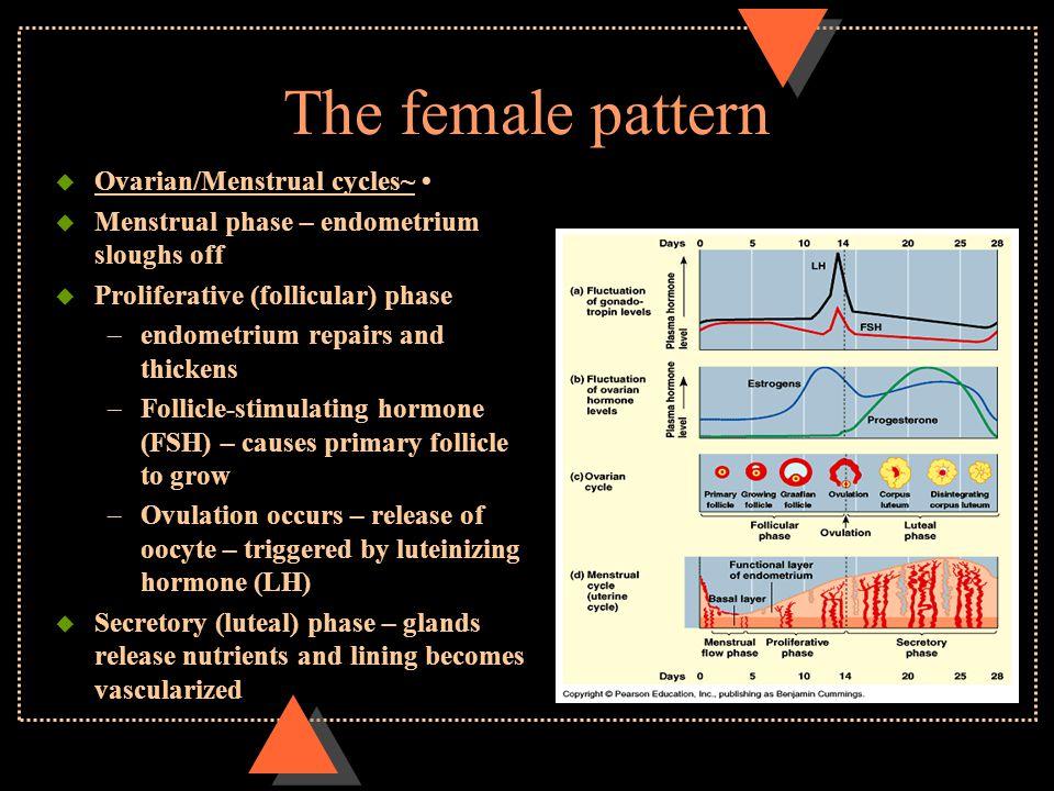 The female pattern u Ovarian/Menstrual cycles~ u Menstrual phase – endometrium sloughs off u Proliferative (follicular) phase –endometrium repairs and