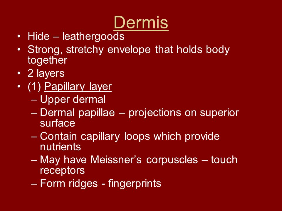 Dermis Hide – leathergoods Strong, stretchy envelope that holds body together 2 layers (1) Papillary layer –Upper dermal –Dermal papillae – projection