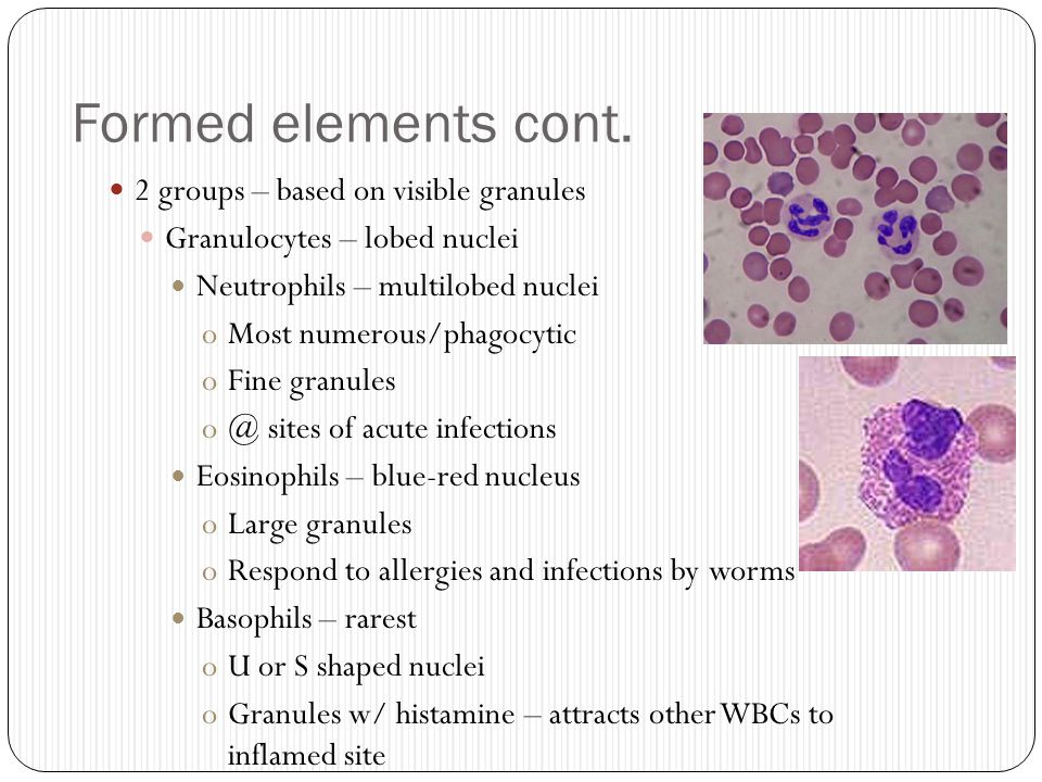 Formed elements cont. 2 groups – based on visible granules Granulocytes – lobed nuclei Neutrophils – multilobed nuclei oMost numerous/phagocytic oFine