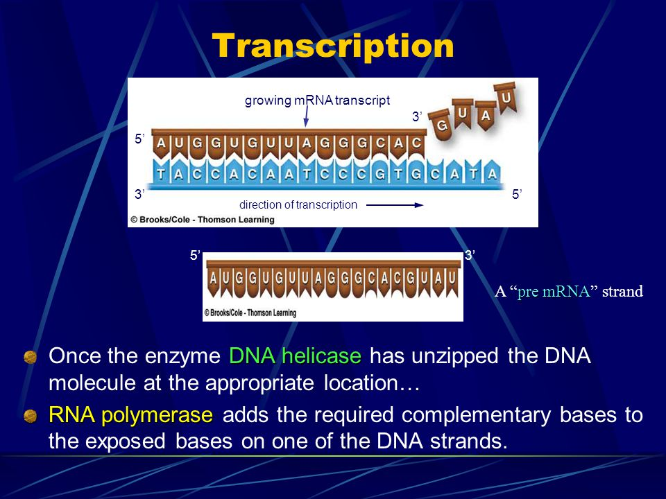 Transcription DNA helicase Once the enzyme DNA helicase has unzipped the DNA molecule at the appropriate location… RNA polymerase RNA polymerase adds
