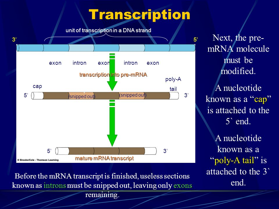 """Transcription Next, the pre- mRNA molecule must be modified. cap A nucleotide known as a """"cap"""" is attached to the 5` end. poly-A tail A nucleotide kno"""