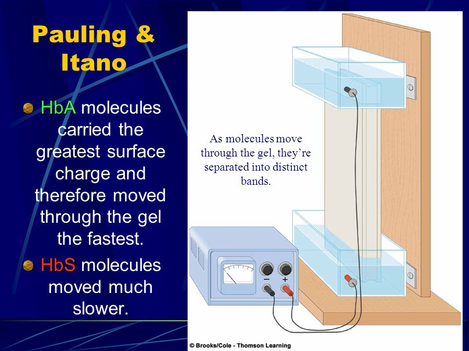 Pauling & Itano HbA HbA molecules carried the greatest surface charge and therefore moved through the gel the fastest. HbS HbS molecules moved much sl