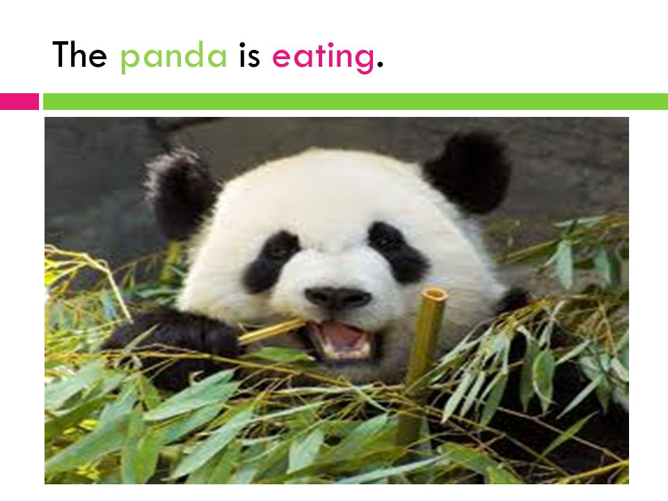 The panda is eating.