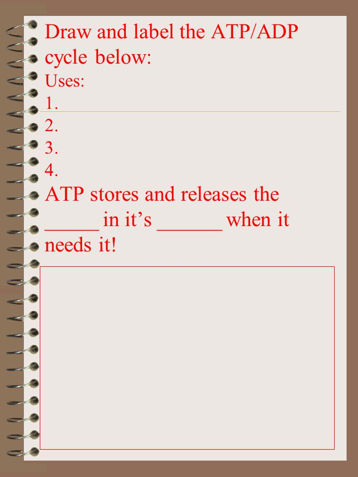 Draw and label the ATP/ADP cycle below: Uses: 1. 2. 3. 4. ATP stores and releases the _____ in it's ______ when it needs it!